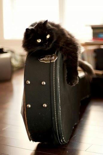 Musician cat