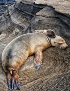 Mamma foca